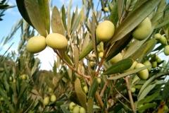 olive-trees-1126320_1920