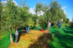 La raccolta delle olive 11